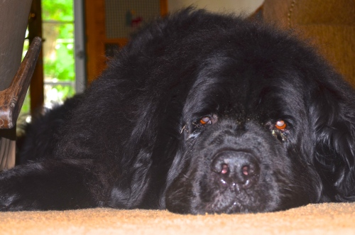 Yogi the Newfoundland | Pale Yellow