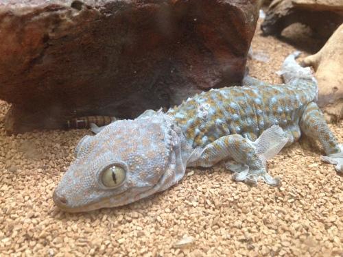 Gecko | Pale Yellow